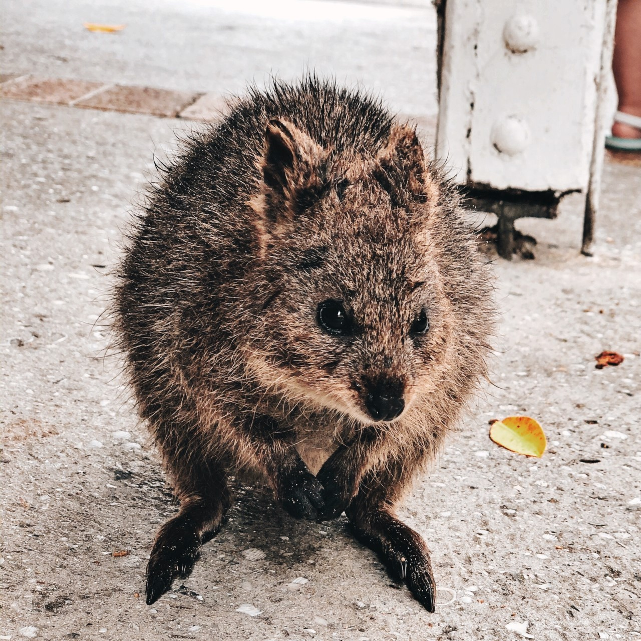 Things To Do On Rottnest Island Baby Quokka